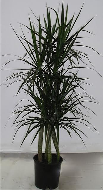 2g dracaena marginata cutback westcoastnurseries for Dracaena marginata