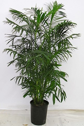 5g-Chamaedorea-Seifrizii-reg-$64.40,3-or-more-$62.00,5-or--more-$61