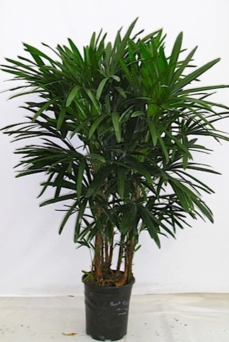 5g-Rhapis-reg-$105.10-sale-$100.00,5-or-more$95