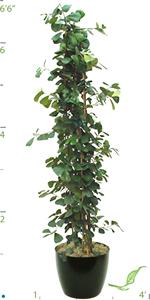 Ficus Triangularis