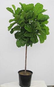 Ficus Lyrata Std