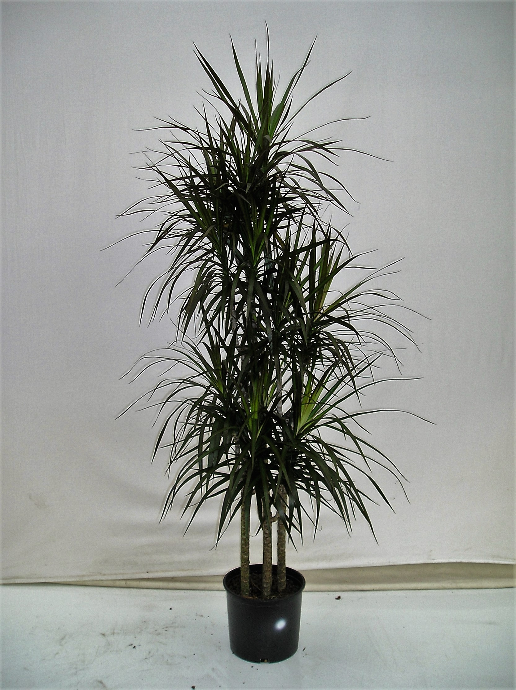 10 dracaena marginata c b westcoastnurseries for Dracaena marginata